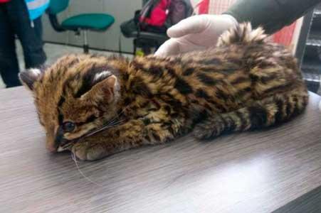 Aparece cachorro de leopardo abandonado en parque de Bogotá