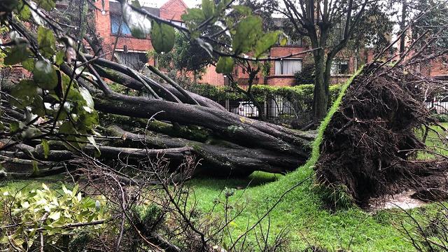 Acacias y eucaliptos, entre las especies de árboles que más se caen en Bogotá