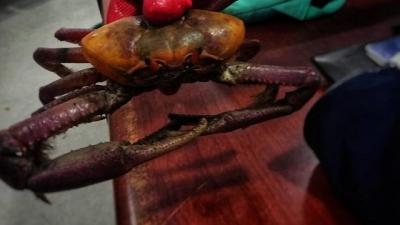 Decomisados 12 cangrejos rojos en el aeropuerto El Dorado de Bogotá