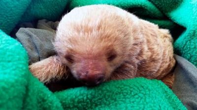 Rescatan oso perezoso en la terminal de transporte del norte de Bogotá