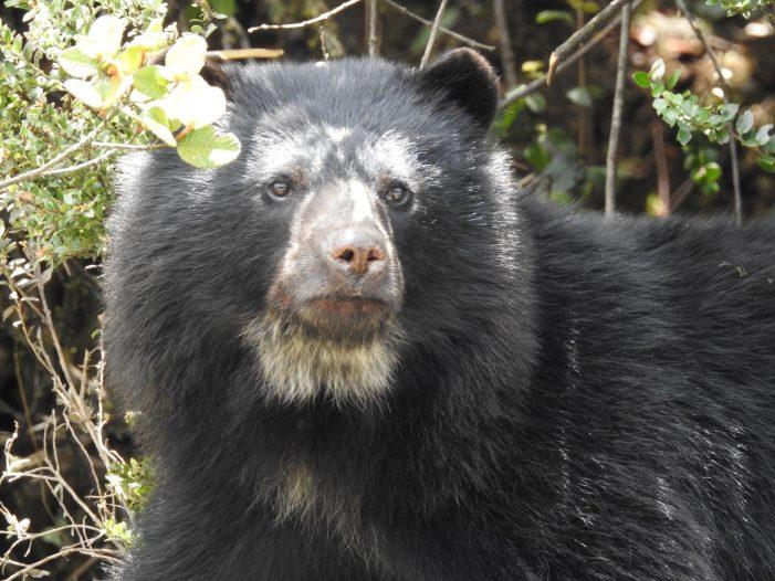 En peligro de extinción el oso de Anteojos