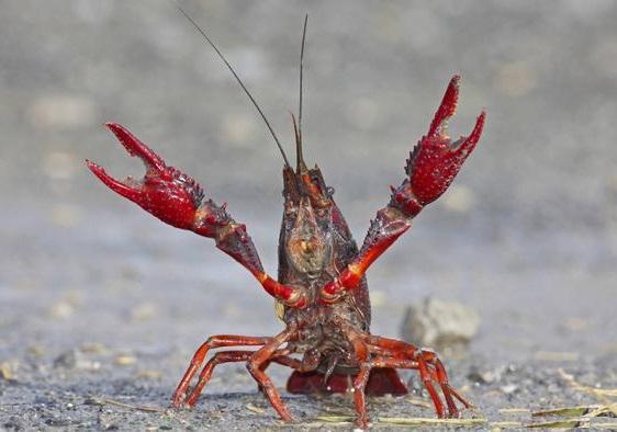 Alerta en Bogotá por plaga de cangrejos rojos en parques y humedales